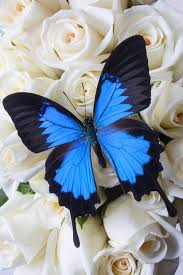 blue butterfly on white roses by garry