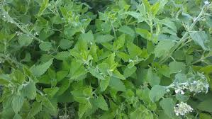Best Plant For Mosquito Repellent 17 Easy To Grow Plants That Repel Mosquitoes U2013 No Need To Buy Any