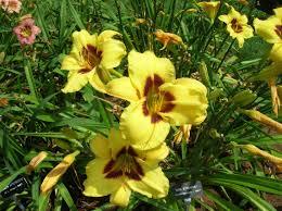 Day Lillies How To Grow Daylily Gardening Daylily Growing Daylily