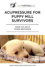 acupressure massage for puppy mill survivors animal wellness guide