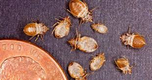 Powder That Kills Bed Bugs Naturally Get Rid Of Bed Bugs How To Kill A Bedbug Infestation
