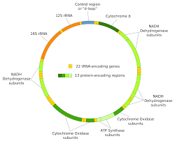 file mitochondrial dna en svg wikimedia commons