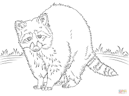 north american raccoon coloring page free printable coloring pages