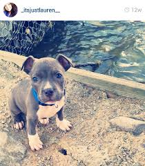 american pitbull terrier qualities the 45 absolute cutest pit bull puppies on instagram u2014 my pit