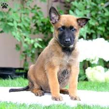 belgian shepherd ohio beauty belgian malinois puppy for sale in pennsylvania