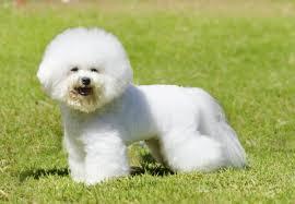 bichon frise long hair most popular hypoallergenic non shedding dog breeds