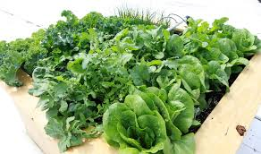 fresh and early 4 x 4 foot salad garden bonnie plants