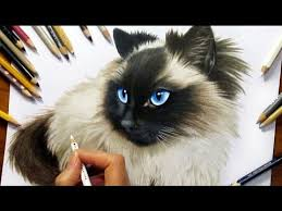 drawing subscribers u0027 pets 2 zida ragdoll cat from holland