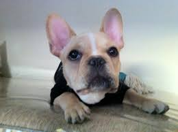 crate training tips crate training hercules the french bulldog