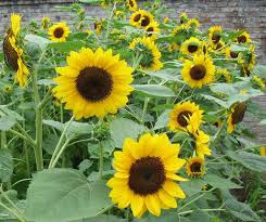 f1 hybrid ornamental sunflower seeds for growing