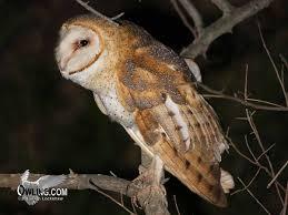 North American Barn Owl Barn Owl Owling Com