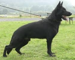 belgian sheepdog for sale in texas breeder trainer u0026 seller of world class pedigree belgian malinois
