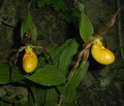 slipper flower yellow s slipper orchid cypripedium pubescens