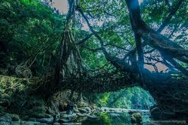 tree root bridges natural living structures in india places to
