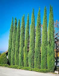 best 25 cypress plant ideas on evergreen trees