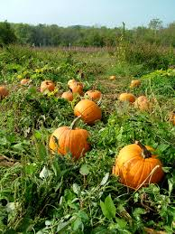 10 tips for growing pumpkins and learn when to plant and harvest