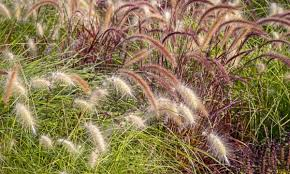 how to growing ornamental grasses from seeds smart tips