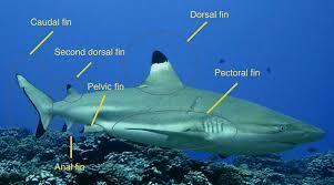 blacktip reef shark adaptation