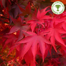 seasons of interest spring autumn one of the best acers for