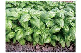 dolly organic basil seed johnny s selected seeds