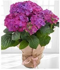 Purple Hydrangea Hydrangea