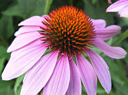 echinacea flower free images nature blossom spiky flower purple petal