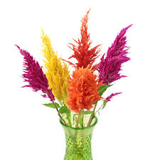 celosia flower feather celosia flowers