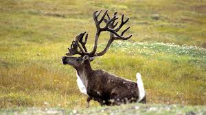 thanksgiving horn called horns and antlers what u0027s the difference