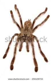 indian ornamental tree spider stock photo 255129733