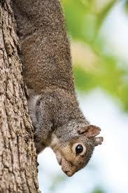 start u0027em on squirrels missouri department of conservation