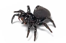 file mouse spider jpg wikipedia