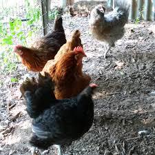 backyard chickens anita u0027s arbor