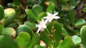 my crassula ovata money tree flowering feb 2013 youtube
