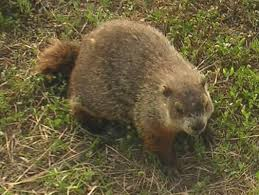 gainesville groundhog removal trapping control