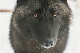 belgian sheepdog colorado wolf myths howling for justice