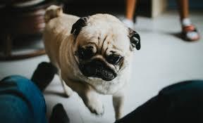 this australian dog sharing service allows you to u0027borrow u0027 pups