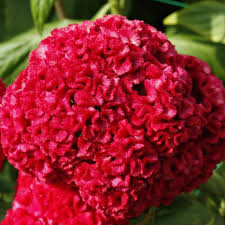 celosia flower bright celosia flower picture jpg see brain flowers
