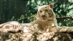 wallpaper 1920x1080 white tiger wolf timber cat tiger