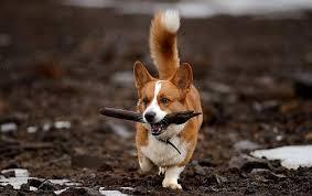 australian shepherd vs corgi pembroke welsh corgi vs cardigan welsh corgi dog breed atlas