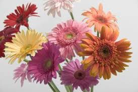 gerbera daisies how to promote new buds on gerbera daisies home guides sf gate