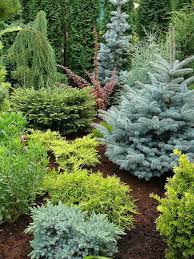 Small Shrubs For Front Yard - conifers this would actually be a good idea for our front yard