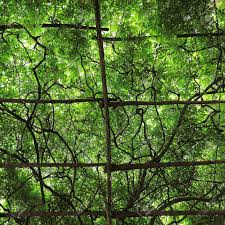 big green canopy of cultivated grape vine trellis stock photo