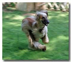 afghan hound national 2014 albin