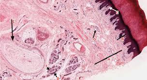 Anatomy Slides Integumentary System Histology