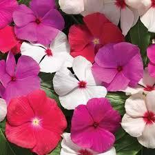 vinca flower vinca cora cascade mix harris seeds