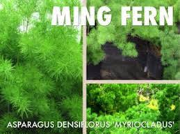 ming fern seeds asparagus myriocladus 20 seeds ornamental aspa