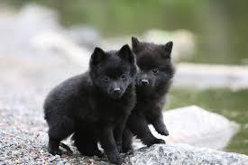 belgian sheepdog litters schipperke info temperament training diet puppies pictures