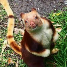 tree kangaroo simplebooklet com