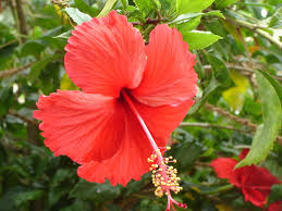 spring flower file red hibiscus in chennai during spring jpg wikimedia commons