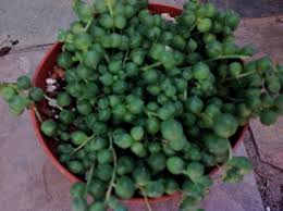 plants native to africa succulent plant string of pearls senecio rowleyanus native